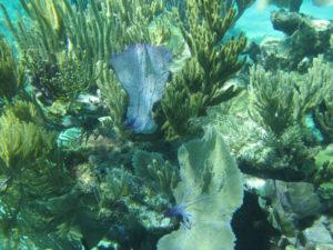 Pelican Cay LSP-Ferns-underwater